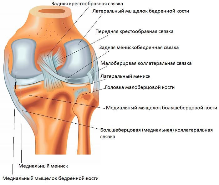 kolennyj-sustav-vid-szadi