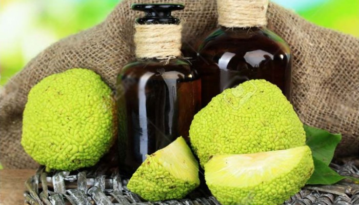 Osage Orange fruits (Maclura pomifera) and medicine bottles, on wooden table, on nature background