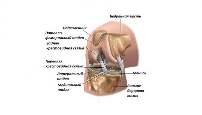 Stroenie-kolennogo-sustava