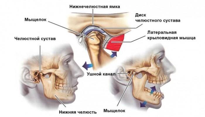 anatomiyasustava
