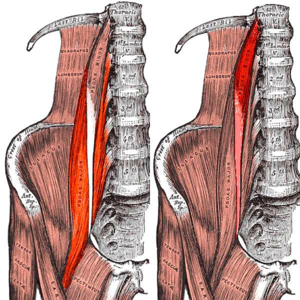 povzdovshnaya-mishca-anatomiya