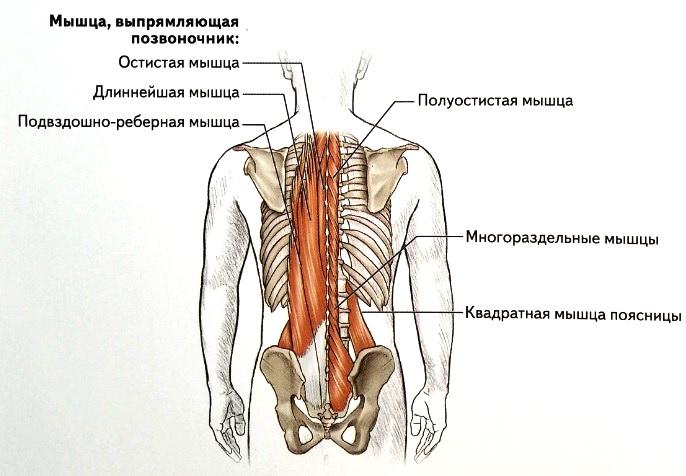 myshtsa-vypryamlyayushhaya-pozvonochnik-mnogorazdelnye-myshtsy-i-kvadratnaya-myshtsa-poyasnitsy
