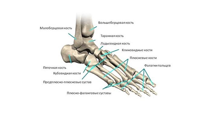 anatomiya-lodyzhki
