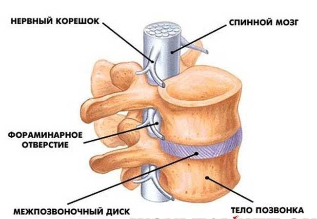 spinnoj-mozg