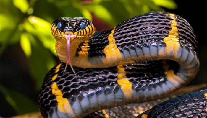 Мазь на основе змеиного яда для суставов