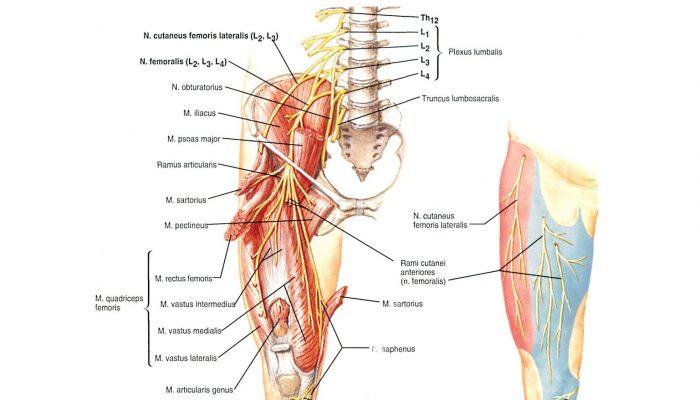 anatomy287