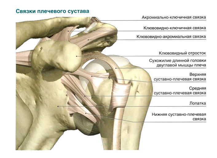 В чем различие сухожилий и связок
