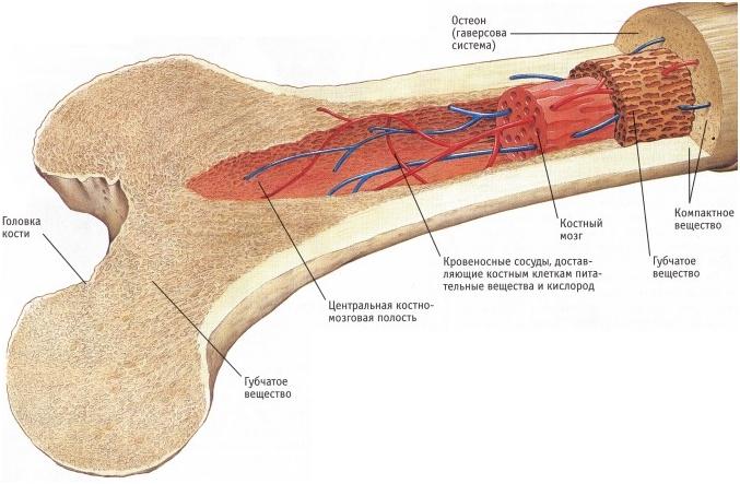 Изображение - Контузия костного мозга коленного сустава %D0%9A%D0%BE%D1%81%D1%82%D0%BD%D1%8B%D0%B9-%D0%BC%D0%BE%D0%B7%D0%B3