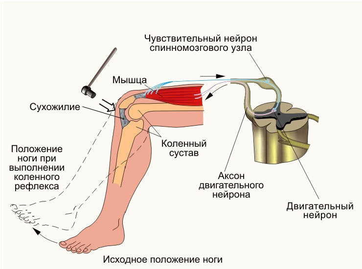 Изображение - Рефлекс коленного сустава описание mediapreview