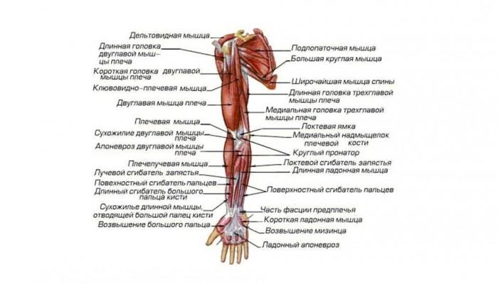 13537248-besplatnye-referaty-po-anatomii-myshcy-verhnih-konechnostey