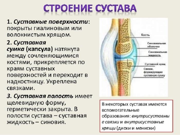 Изображение - Задняя поверхность коленного сустава Sustav