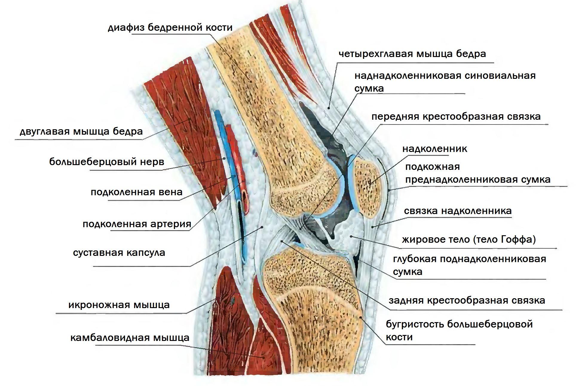Изображение - Задняя поверхность коленного сустава p0441-sel