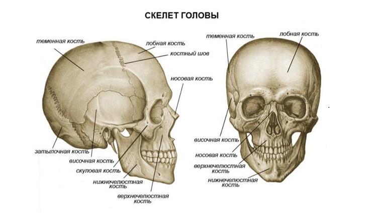 Изображение - Движение мышц суставов 2112801_kosti-cherepa-cheloveka
