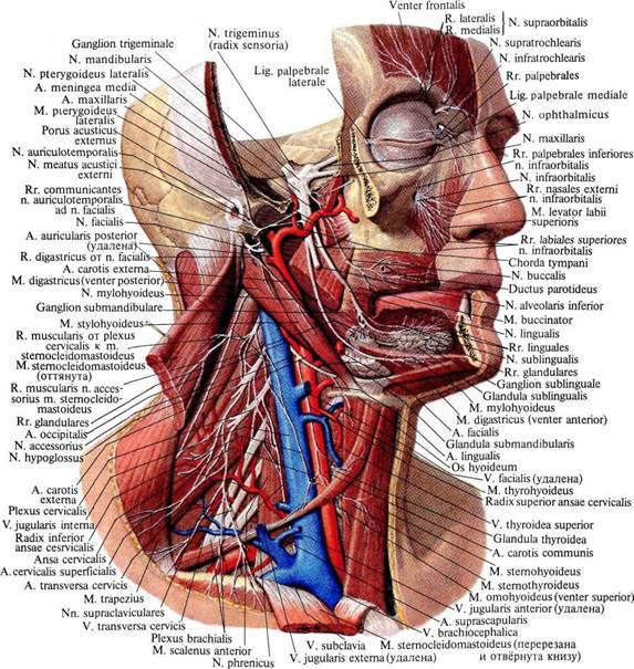 Изображение - Верхнечелюстной сустав анатомия 976