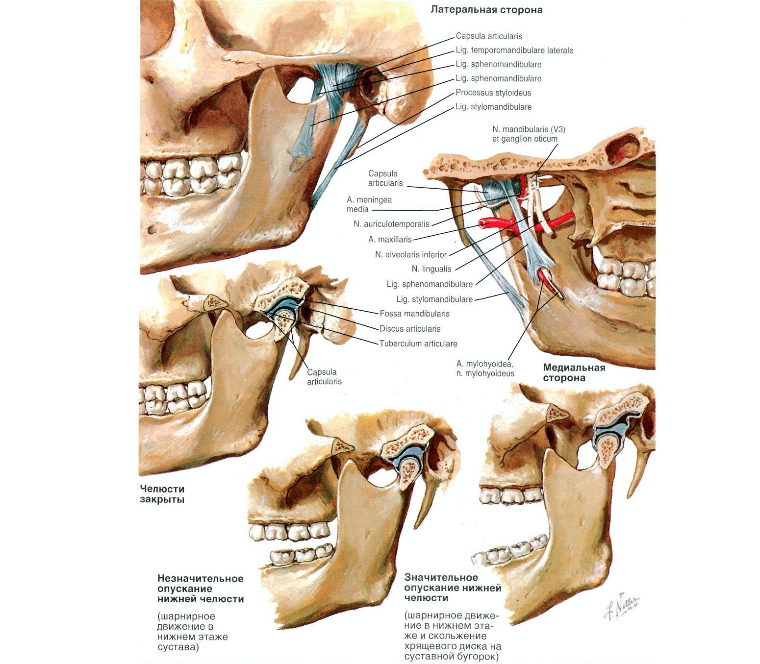 Изображение - Верхнечелюстной сустав анатомия anatomy9