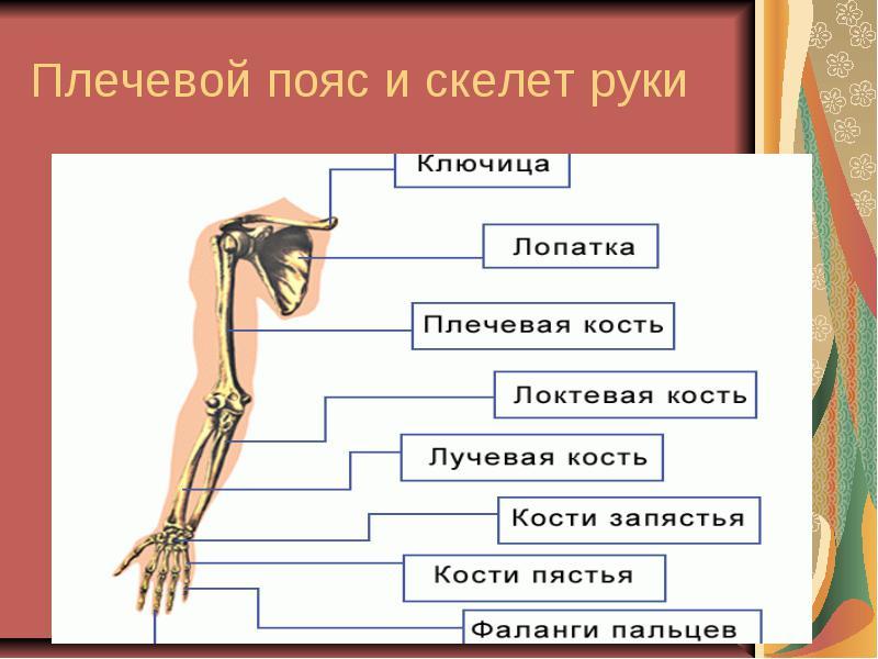Изображение - Строение человека кости и суставы img16