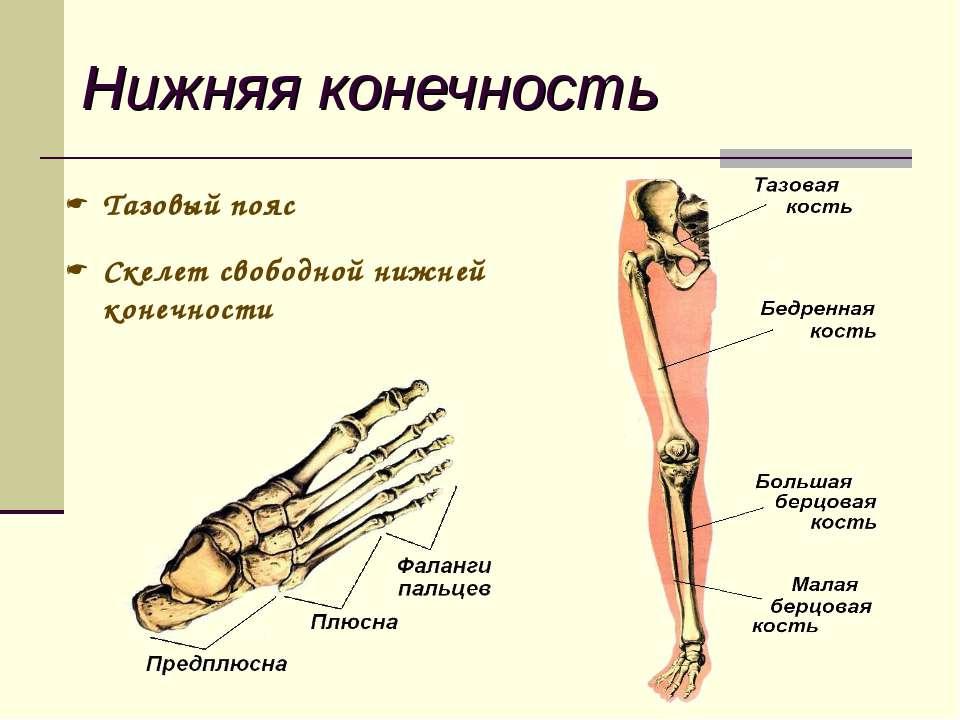 Изображение - Строение человека кости и суставы translit-57878